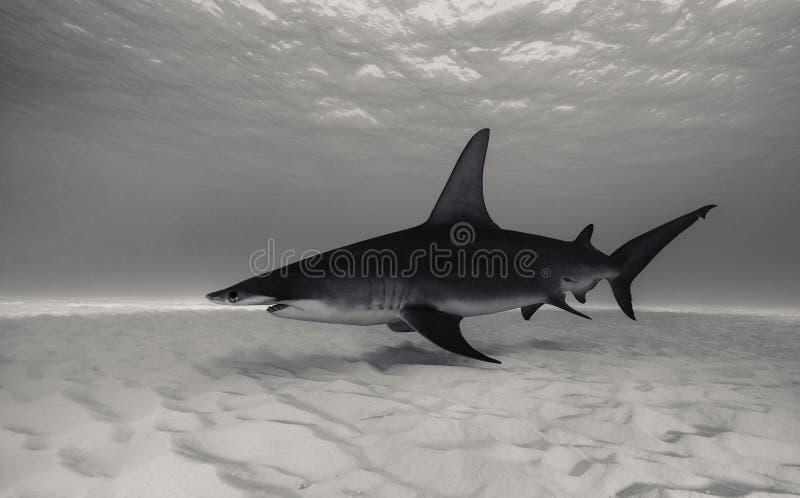 Wielki hammerhead rekin podwodny fotografia stock
