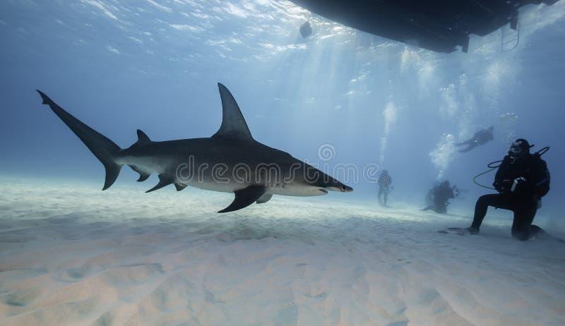 Wielki hammerhead rekin podwodny obraz stock
