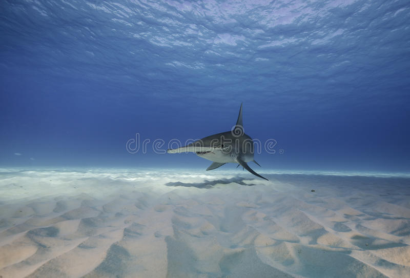 Wielki hammerhead rekin podwodny obraz royalty free