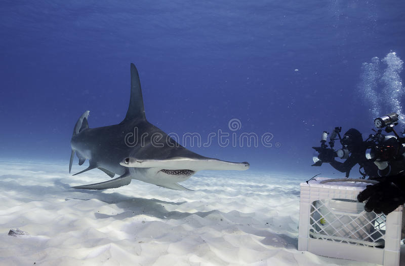 Wielki hammerhead rekin podwodny zdjęcie stock