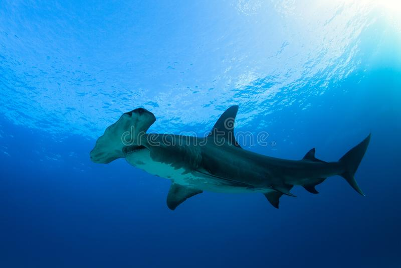 Wielki Hammerhead rekin fotografia royalty free