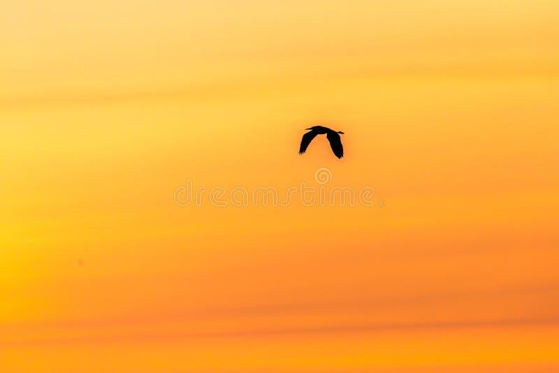 wielki heron błękitny słońca obraz stock