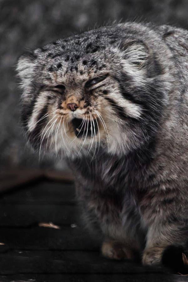 Wielki i gniewny dziki kota manul przysięga i chrząknięcia, zdegustowana dzika bestia, kaganiec zamknięty w górę obrazy royalty free