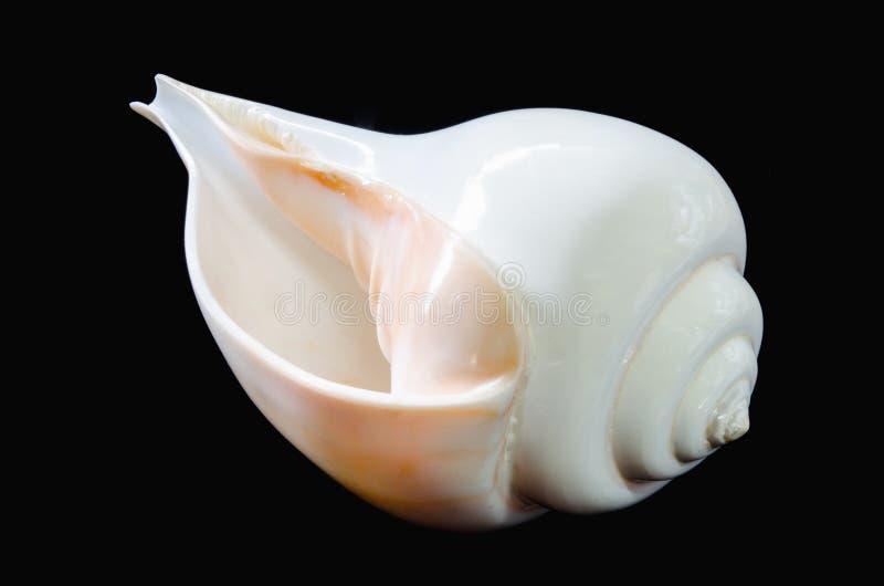 Wielki indyjski chank seashell na czarnym tle obraz stock