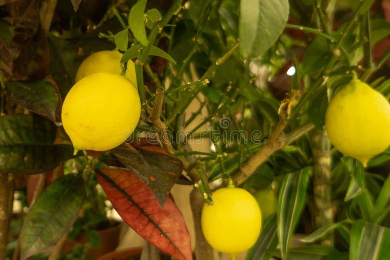 Wielki jaskrawy żółty cytryny obwieszenie na gałąź z zielenią opuszcza na windowsill w pokoju obrazy stock
