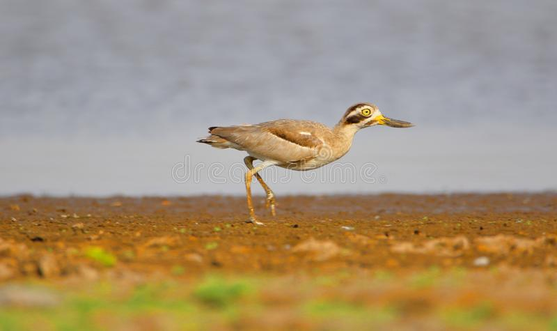 Wielki kamiennego curlew ptak obraz stock