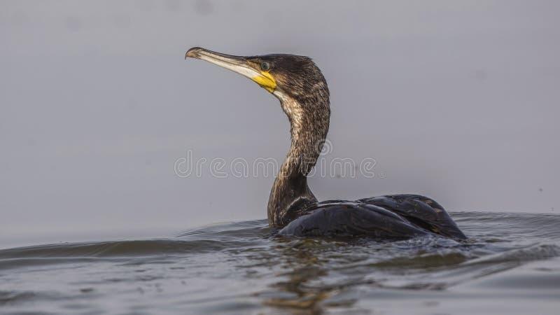 Wielki kormoran w jeziorze zdjęcie stock