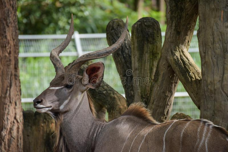 wielki kudu obraz stock