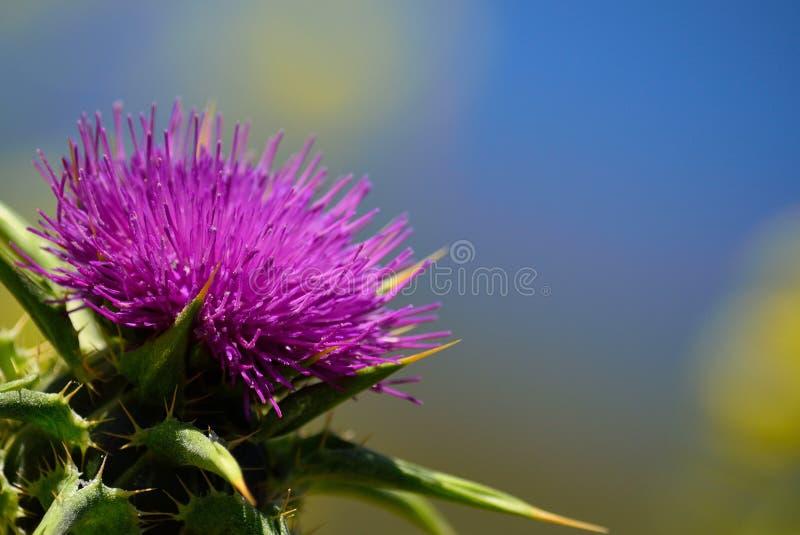Wielki kwiat dojny oset zdjęcie royalty free