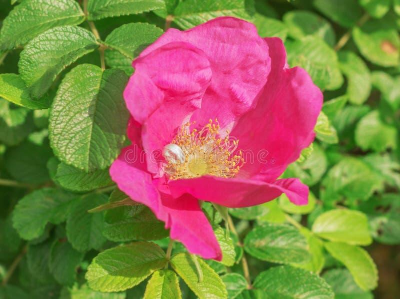 Wielki kwiat dziki wzrastał obrazy royalty free