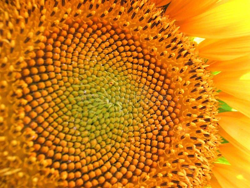 wielki kwiat słońce fotografia stock