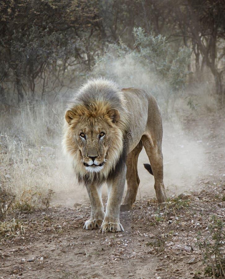 Wielki męski lew chodzi w pustyni obrazy royalty free