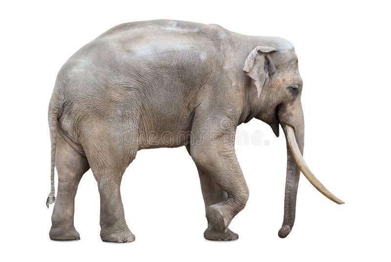 Wielki męski słoń odizolowywający na bielu obraz royalty free