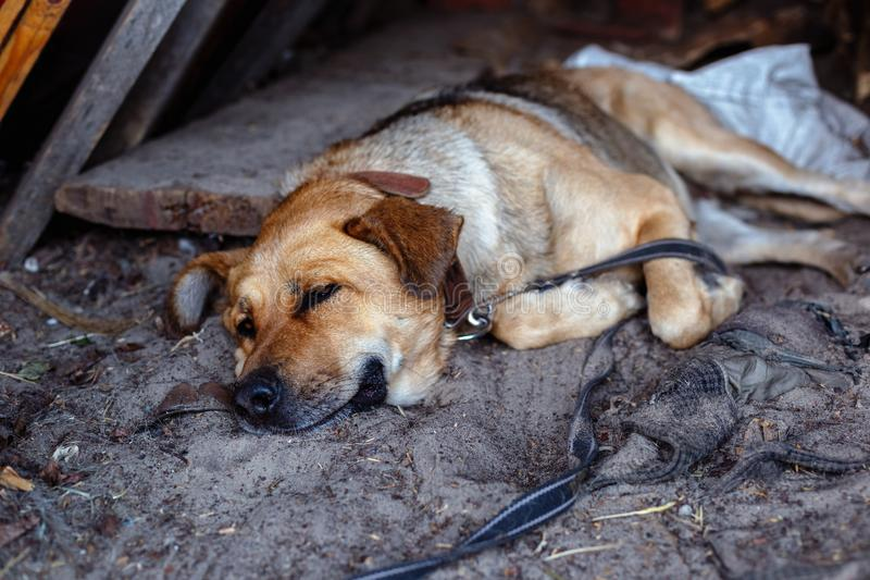 Wielki mastifa pies kłama na ziemi zdjęcia royalty free