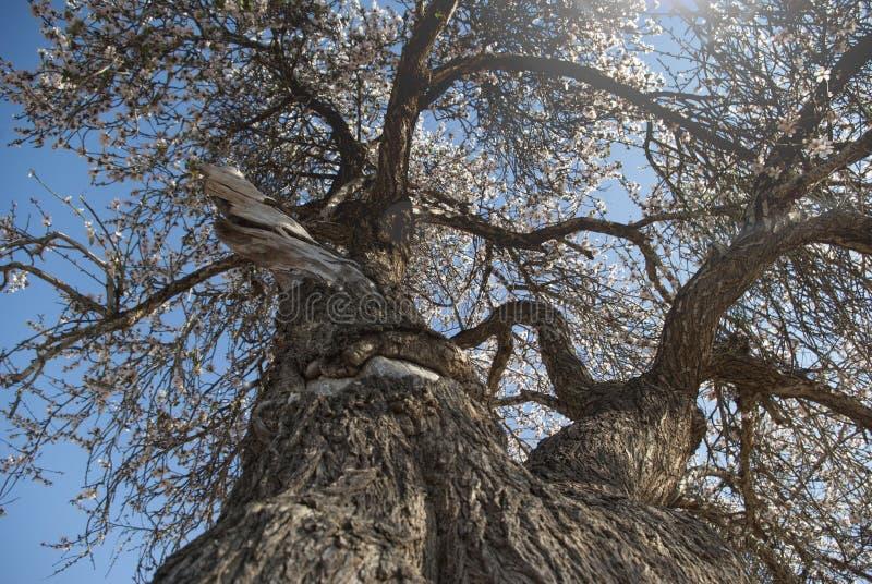 Wielki migdałowy drzewo widzieć spod spodu zdjęcie royalty free