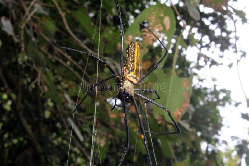 Wielki Nephila maculata, gigant Ględził północnego złotego okręgu tkacza lub giganta drewnianego pająka na sieci obraz royalty free