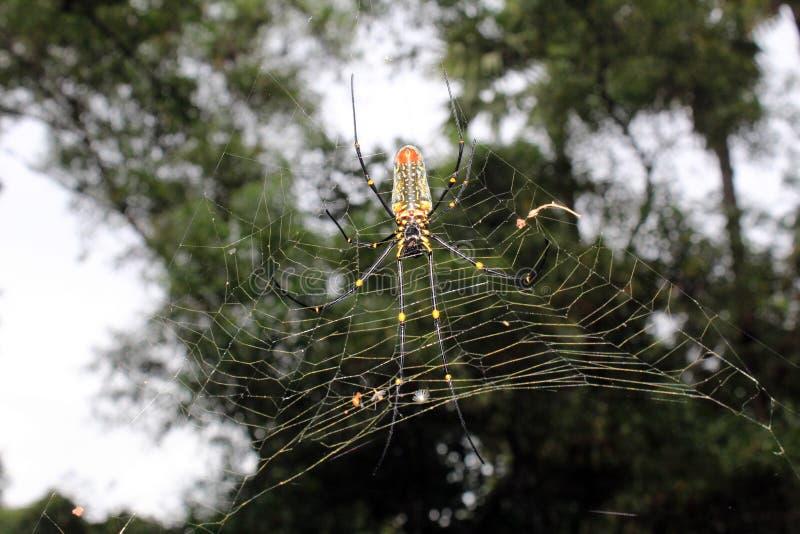 Wielki Nephila maculata, gigant Ględził północnego złotego okręgu tkacza lub giganta drewnianego pająka na sieci zdjęcie stock