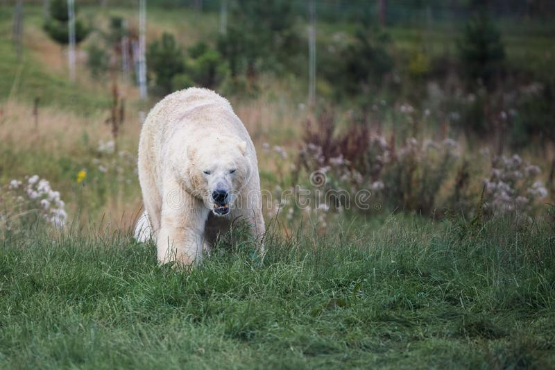 Wielki niedźwiedź polarny chodzi w kierunku kamery w zielonym polu Lato Anglia zdjęcie stock