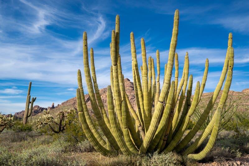 Wielki Organowej drymby Kaktusowy dorośnięcie w Organowej drymby Krajowym zabytku w krańcowym południowym Arizona jedyny miejsce  zdjęcie royalty free