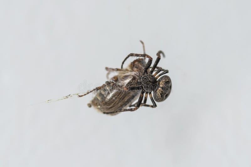 Wielki pająk wiruje pająk sieć ściga łapiąca nim, zakończenie fotografia royalty free