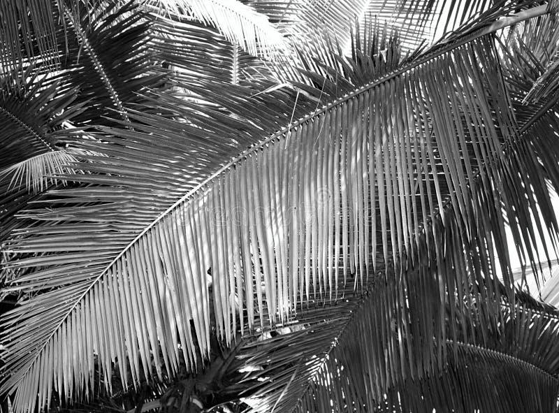 Wielki Palmowy liść - Abstrakcjonistyczny tło w Popielatej skala zdjęcia stock
