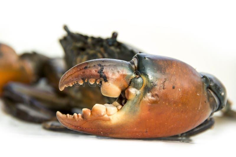 Wielki pazur Żyję błota krab fotografia royalty free