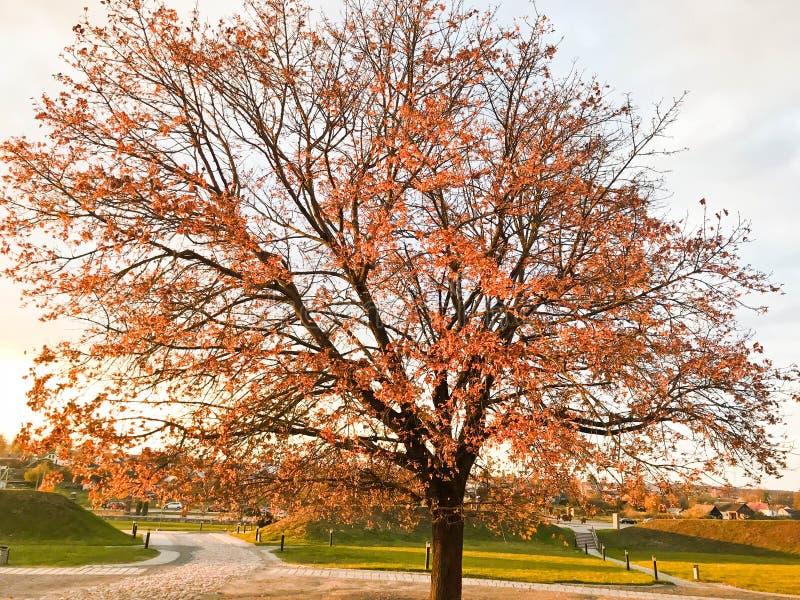 Wielki piękny naturalny drzewo z gęstym bagażnikiem zamiata gałąź, czerwień i kolory żółci spadać jesień liście, Jesień krajobraz zdjęcie royalty free