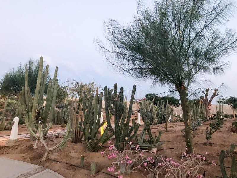 Wielki piękny ogród meksykanin zieleni kłujący kaktus, egzotyczni drzewa, rośliny, tropikalne w suchych suchych ciepłych krajach, fotografia stock