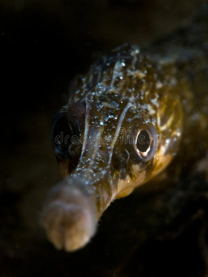 Wielki Pipefish - Loch Sween obraz stock