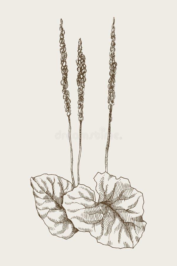 Wielki Plantago lub Rocznik botaniczna grawerująca ilustracja 10 tło projekta eps techniki wektor ilustracji
