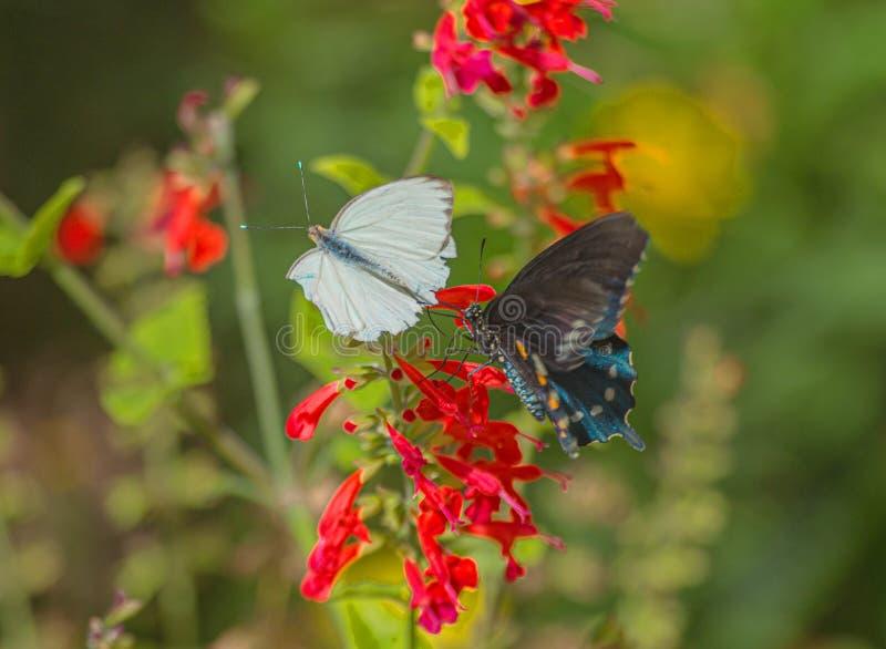 Wielki Południowy biel i Pipevine Swallowtail motyle na Czerwonych szałwiach Kwitniemy w Arizona pustyni -2 fotografia stock