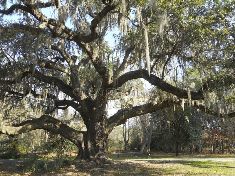 Wielki południowy dębowy drzewo z Hiszpańskim mech zdjęcia royalty free