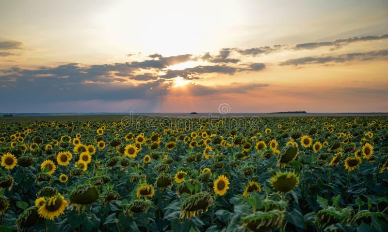 Wielki pole słoneczniki przy zmierzchem obrazy royalty free