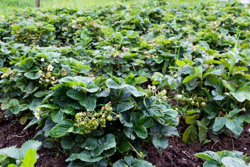 Wielki pole truskawki w wsi Krzak jagod ampuła i przygotowywają często nawadniają jagoda są wciąż obrazy royalty free