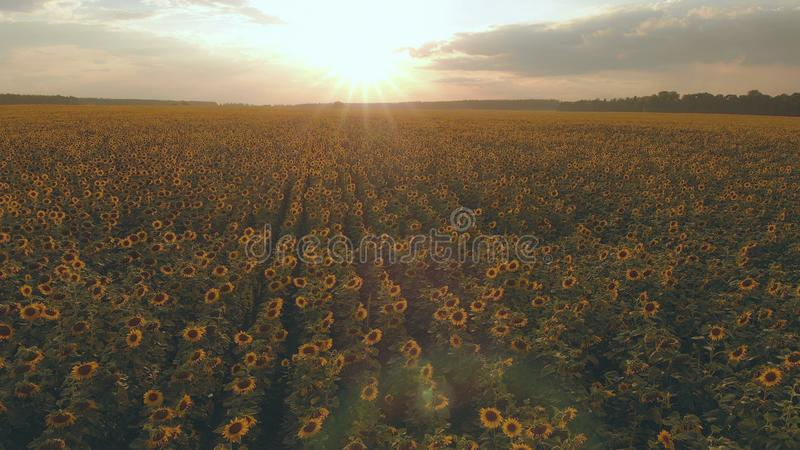 Wielki pole z słonecznikiem przy zmierzchem widok z lotu ptaka obrazy stock