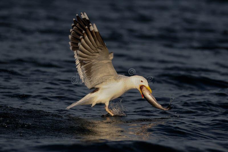 Wielki popierający frajera chwyt ryba, romsdalfjord obrazy stock