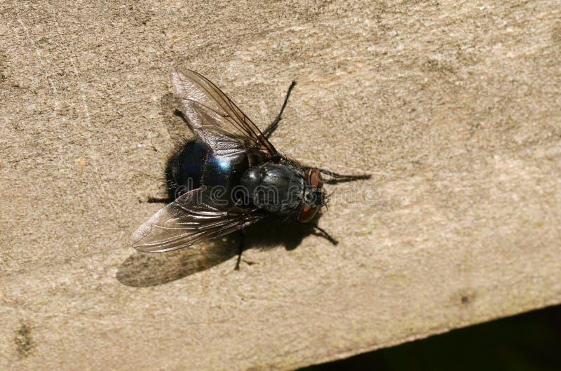 Wielki Pospolity modraka Calliphoridae - komarnicy Calliphora vicina, umieszcza na drewnianym ogrodzeniu w lesie w UK obraz stock