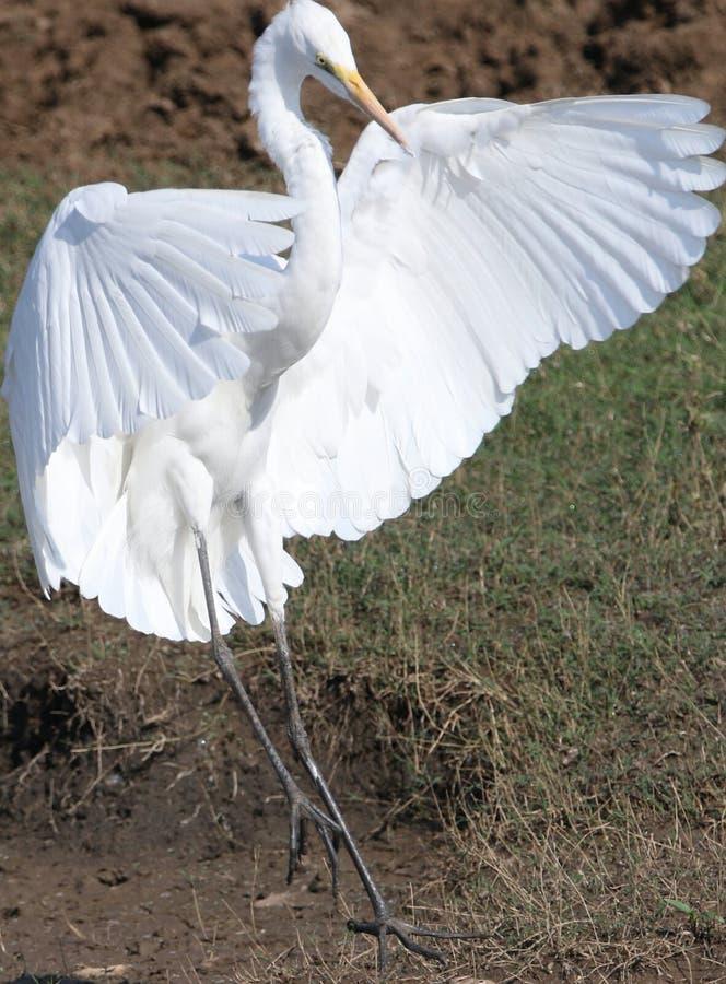 wielki ptasi egret zdjęcie royalty free