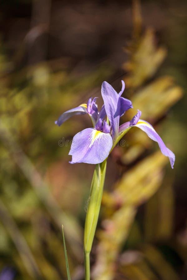 Wielki purpurowy Brodatego irysa germanica Irysowy kwiat kwitnie dzikiego fotografia royalty free