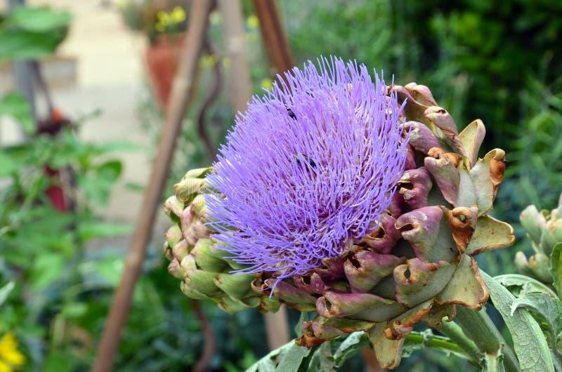 Wielki purpurowy kwiat karczochów w ogrodzie wiejskim zdjęcie royalty free