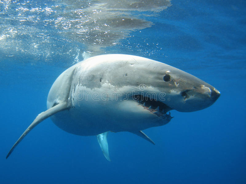 wielki rekin white fotografia stock