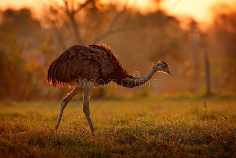 Wielki Rhea, Rhea americana, duży ptak z puszystymi piórkami, zwierzę w natury siedlisku, evening słońce, Pantanal, Brazylia Rhea fotografia stock
