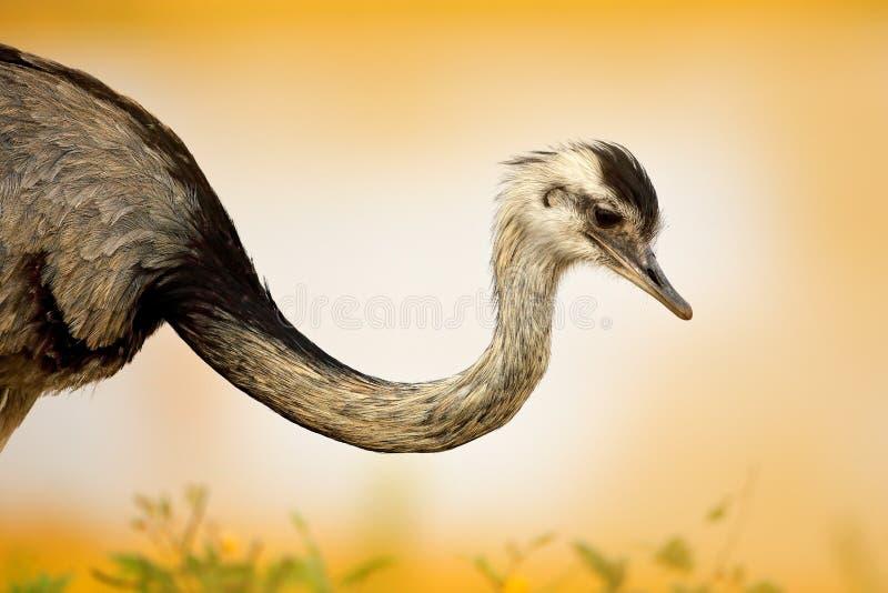 Wielki Rhea, Rhea americana, duży ptak z puszystymi piórkami, zwierzę w natury siedlisku, evening słońce, Pantanal, Brazylia Rhea zdjęcie stock