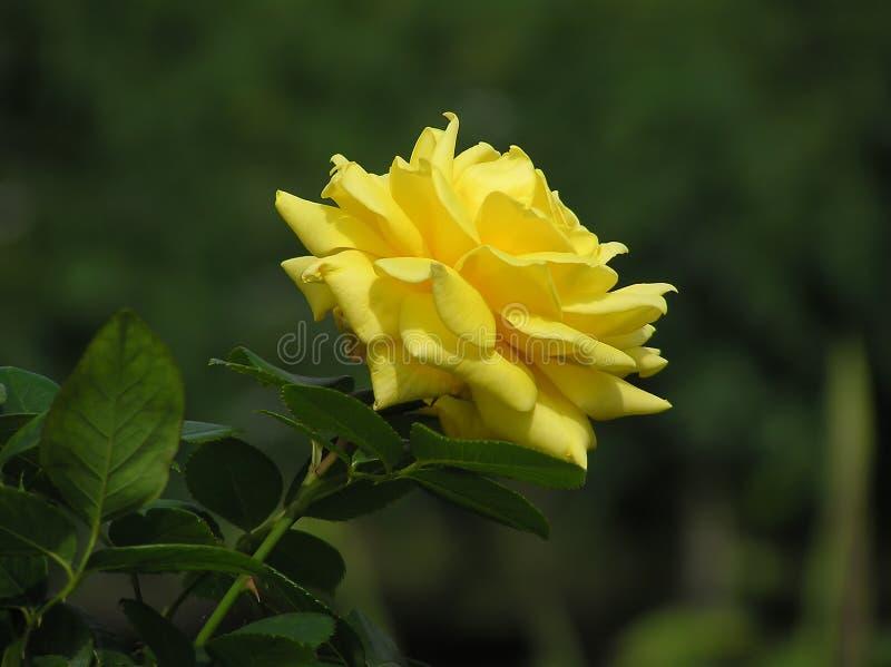 wielki rose zdjęcia stock
