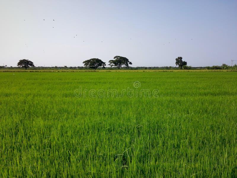 Wielki ryżu pole i szeroki lekki niebo obrazy royalty free