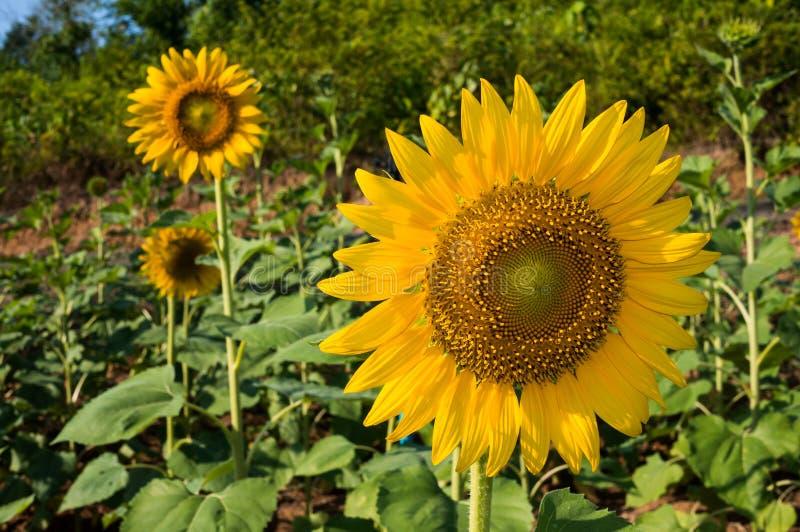 wielki słonecznik obraz stock