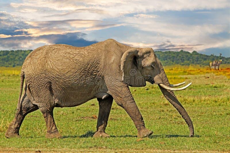 Wielki słonia odprowadzenie przez Afrykańskie równiny z dramatycznym niebem w Masai Mara, Kenja zdjęcia stock