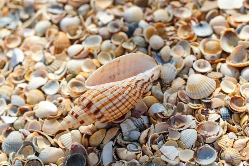 Wielki seashell kłama na górze wiele małych round seashells zdjęcie stock