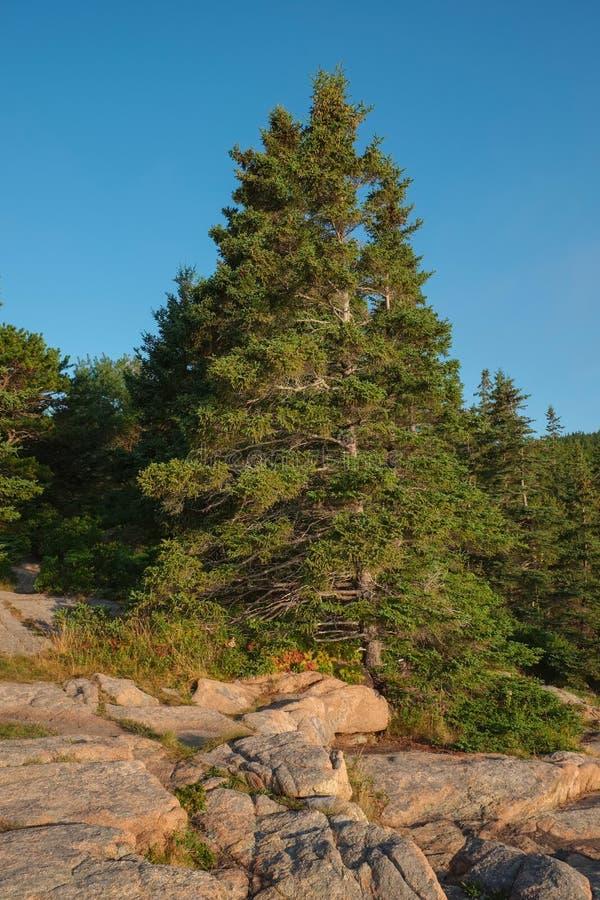 Wielki sosny dorośnięcie na Różowych granit skały cegiełkach w Acadia zdjęcie stock