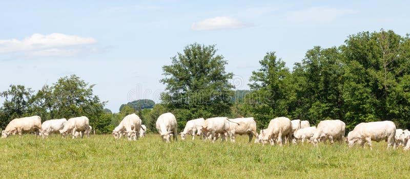 Wielki stado biały Charolais wołowiny bydła pasanie w trawiastym pa zdjęcie royalty free